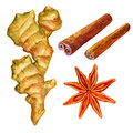 Watercolor ginger root. Hand draw ginger illustration. Spices object isolated on white background. Kitchen herbs an