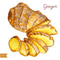 Watercolor ginger root. Hand draw ginger illustration. Spices vector object isolated on white background. Kitchen herbs