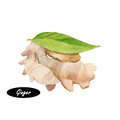 Watercolor ginger root on white background