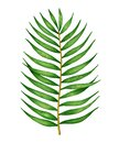 Watercolor green tropical leaf, coconut palm tree branch isolated on white background. Hand drawn summer element for design Royalty Free Stock Photo