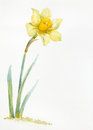 Watercolor hand drawn narcissus