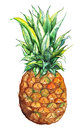 Watercolor hand drawn pineapple exotic tropical fruit