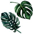 2 Watercolor hand painted green leaves of monstera. Watercolor isolated elements on white background. Tropical illustration for Royalty Free Stock Photo