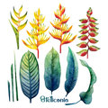 Watercolor heliconia collection