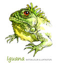 Watercolor Iguana on the white background. Exotic animal.