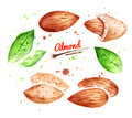 Watercolor illustration of almond nut