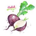 Watercolor illustration of black radish