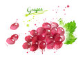 Watercolor illustration of bunch of red grape