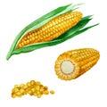 Watercolor illustration. Corn.