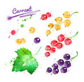 Watercolor illustration of currant