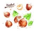 Watercolor illustration of hazelnut