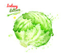 Watercolor illustration of iceberg lettuce