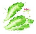 Watercolor illustration of lettuce
