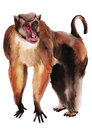 Watercolor illustration of a monkey macaque Stock Photo