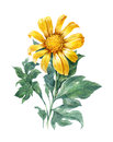 Watercolor illustration painting of Yellow , flower , sunflower Royalty Free Stock Photo