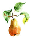 Watercolor illustration of pear with leaves Stock Photography