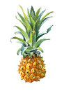 Watercolor illustration of a pineapple on white background