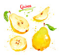 Watercolor illustration of quince