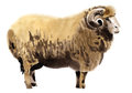 Watercolor illustration of a ram