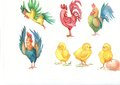 Watercolor illustration rooster and chicken,the symbol of the new year 2017, bright colorful watercolor rooster