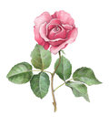 Watercolor illustration of rose flower Royalty Free Stock Photo