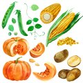 Watercolor illustration, set, images of vegetables, corn and corn kernels, potatoes, pumpkin and peas. Royalty Free Stock Photo