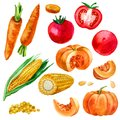 Watercolor illustration, set, images of vegetables, corn and corn kernels, carrots, pumpkins and tomatoes. Royalty Free Stock Photo