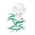 Watercolor illustration of white peony.