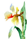 Watercolor illustration yellow narcissus flower Stock Images
