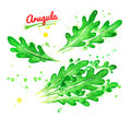 Watercolor illustrations of arugula