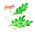Watercolor illustrations of leaves of arugula