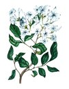 Watercolor jasmine flowers, twigs and leaves