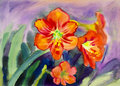Watercolor landscape original painting  colorful of canna lily flowers Royalty Free Stock Photo