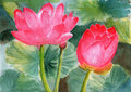 Watercolor lotus on paper pink and green leaves in the summer Royalty Free Stock Images
