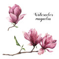 Watercolor magnolia. Hand painted floral botanical illustration isolated on white background. Pink flower for design Royalty Free Stock Photo