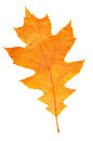 Watercolor maple leaf autumn background orange Royalty Free Stock Photos