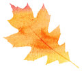 Watercolor maple leaf autumn background orange Royalty Free Stock Photography