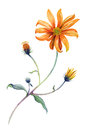 Watercolor orange daisies branch with leaves.