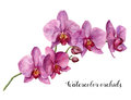 Watercolor Orchids. Hand Paint...
