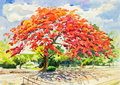 Watercolor original painting  landscape and beautiful  of peacock flower tree Royalty Free Stock Photo