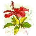 Watercolor paint - Hibiscus flower Royalty Free Stock Photos