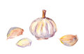 Watercolor painting - garlic bulb