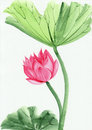 Watercolor painting of pink lotus flower original art asian style Royalty Free Stock Photos