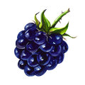 Watercolor painting on white background tasty blackberry Stock Photo
