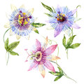 Watercolor passion flower Royalty Free Stock Photo