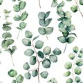 Watercolor pattern with eucalyptus round leaves. Hand painted baby and silver dollar eucalyptus branch isolated on white
