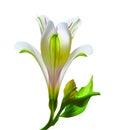 Watercolor pattern flower alstroemeria.