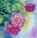 Watercolor peony flowers illustration of Stock Photography