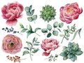 Watercolor peony, succulent and ranunculus floral set. Hand painted red and blue berry, eucalyptus leaves isolated on
