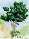 Watercolor pine tree traditional illustration of Royalty Free Stock Images